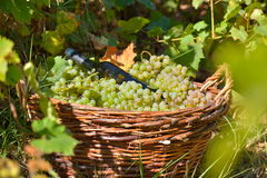 Basket full of grapes in the vinyard Royalty Free Stock Images