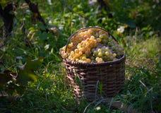 Basket full grapes stock images