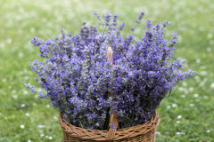 Basket full of lavender Stock Image