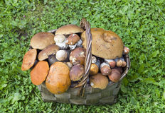 Basket, full mushrooms Royalty Free Stock Photos