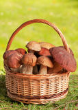 Basket full of mushrooms. Wooden basket full of huge mushrooms Stock Photography