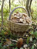 Basket full of mushrooms Royalty Free Stock Images