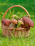 Basket full of mushrooms. Basket full of huge mushrooms with firtree branches Royalty Free Stock Photography