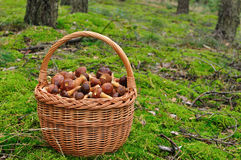 Basket full of mushrooms. Royalty Free Stock Images