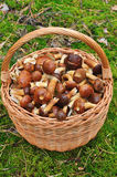 Basket full of mushrooms. Royalty Free Stock Image