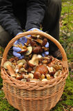 Basket full of mushrooms. Stock Photo