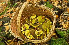 Basket full of mushrooms Royalty Free Stock Photos