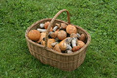 Basket full of mushrooms. On green grass stock photos