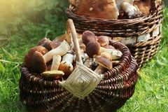 Basket Full Of Fresh Boletus Mushrooms In Forest Royalty Free Stock Image