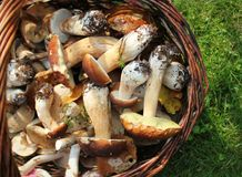 Basket Full Of Fresh Boletus Mushrooms In Forest. Top View Royalty Free Stock Images