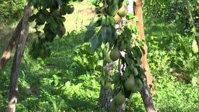 Basket full of organic pear fruits under fruiter tree in orchard garden. Tilt up. 4K stock footage