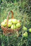 Basket full of pears on green grass Stock Photos