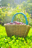 Basket full of plums Stock Images