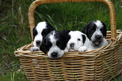 Basket full of Puppies Stock Photography