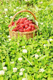 Basket full of raspberry Royalty Free Stock Photo