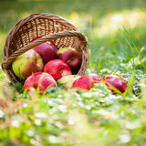 Basket full of red apples. Basket full of fresh juicy apples scattered in a grass. Autumn harvest concept royalty free stock photos