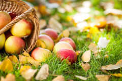 Basket full of red apples Royalty Free Stock Photo