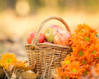 Basket full of red juicy apples Royalty Free Stock Images