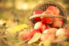 Basket full of red juicy apples Royalty Free Stock Photography