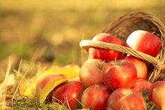 Basket full of red juicy apples Stock Photography