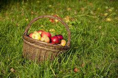 Basket full of red and yellow apples Stock Photography