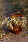 Basket full of ripe ears wheat and wildflowers  Stock Image