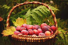 Basket full of ripe plums yellow autumn leaves, the fern in the background, crop year Stock Images