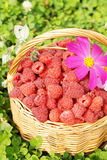 Basket full of ripe raspberry and flower Royalty Free Stock Image