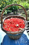 Basket full of ripe red currant in the garden stock photo