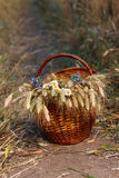 Basket full of ripe spikelets of wheat and wild flowers Royalty Free Stock Photos