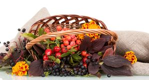 Basket full of rose hips, mountain ash, chokeberry and flowers lies on burlap, isolated on white. Background Stock Image
