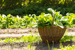 Basket full of spinach Stock Images
