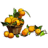 Basket full of tangerines with leaves. Tangerines fell close Royalty Free Stock Images