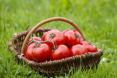 Basket full of tomatoes Royalty Free Stock Photos