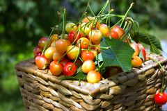 Basket full of yellow cherrybcloseup at cherry bush with green l. Eaves background. Summer harvest of berries Royalty Free Stock Photos