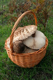 Basket of fungi Royalty Free Stock Images