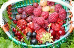 Basket of garden berries. Of strawberries, strawberry, black and red currant, raspberries, gooseberry, cherry and cherries on green grass with white clover Royalty Free Stock Photography
