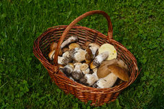Basket with the gathered mushrooms Stock Photos