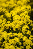 Basket of gold, (Aurinia saxatilis) in spring Royalty Free Stock Photography