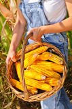 Basket with golden maize Stock Image