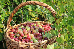 Basket with a gooseberry against a bush. Royalty Free Stock Images