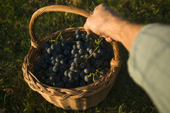 Basket of grapes Royalty Free Stock Image