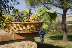 Basket of grapes Royalty Free Stock Photography