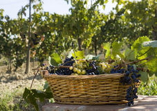 Basket of Grapes Stock Photos