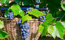 Basket with grapes and a bottle Royalty Free Stock Image