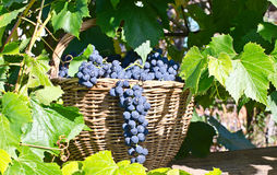 Basket with grapes Royalty Free Stock Photo