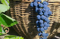 Basket with grapes Royalty Free Stock Photos