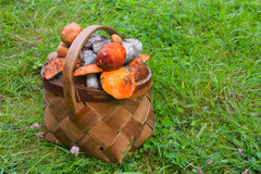 Basket on grass, full of fresh autumn mushrooms Royalty Free Stock Photos