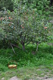Basket of green apples is in the grass under the Apple tree. In the garden stock image