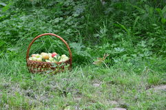 Basket of green apples is in the green grass. Basket of green apples is in the grass. In the garden royalty free stock photo